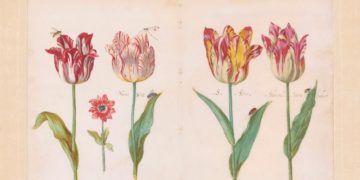 Tulips - Jacob Marrel