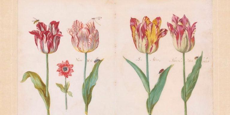 Tulips - Jacob Marrel